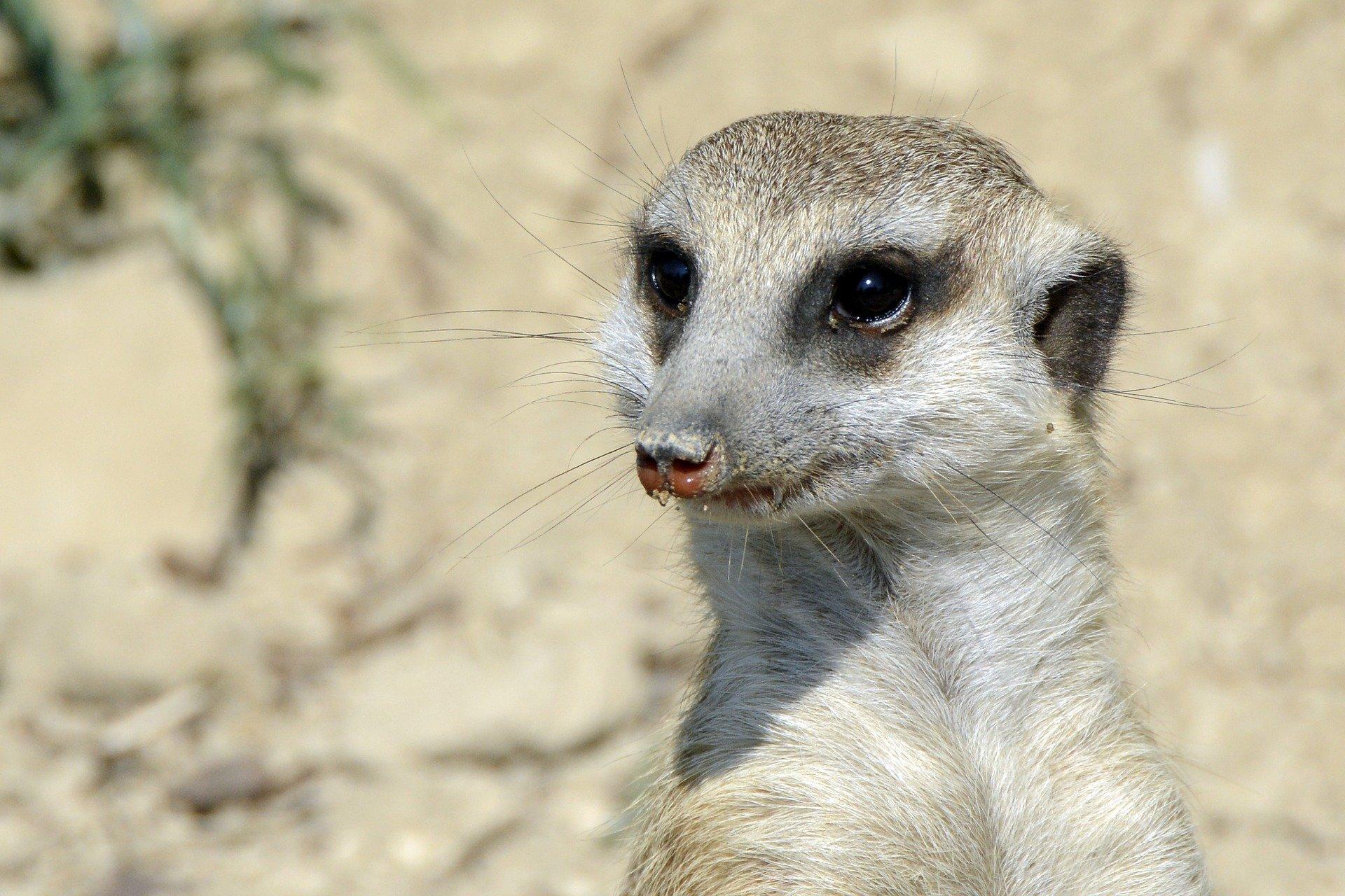 meerkat-3602106_1920