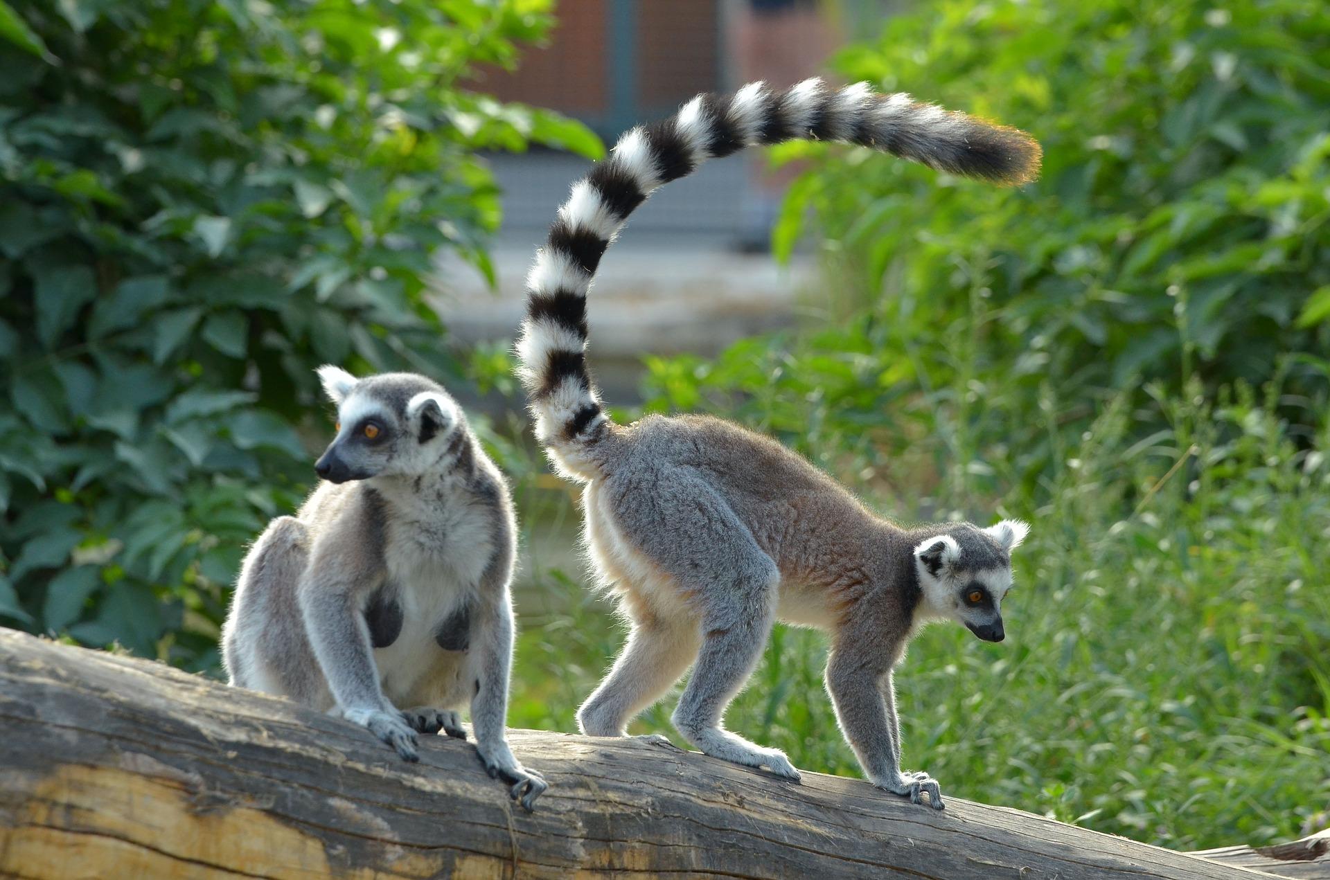 ring-tailed-lemur-2641910_1920